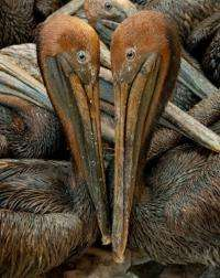 Oil covered brown pelicans found off the Louisiana coast wait in a holding pen for cleaning