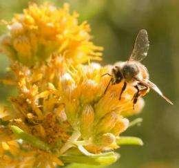 Old bees' memory fades; mirrors recall of mammals