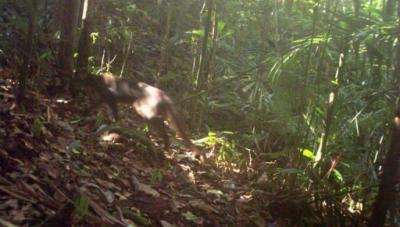 One of the world's rarest wild cats has been spotted for the first time since 2003
