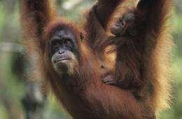 Orangutan copy cats