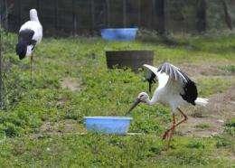 Oriental white storks (Konotori) at the Konotori-no Sato Park