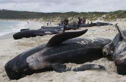 Pilot whales up to six metres (20 feet) long are the most common species of whale seen in New Zealand waters