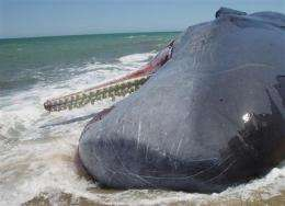Report: Toxins found in whales bode ill for humans (AP)