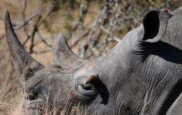 Rhino horns are traditionally used in Asia in traditional medicines
