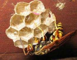 Rhythmic vibrations guide caste development in social wasps