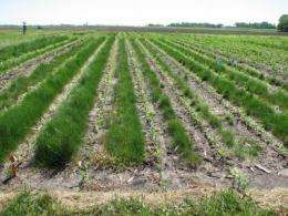 Saving the soil and maintaining corn yields: ISU early research says yes to both