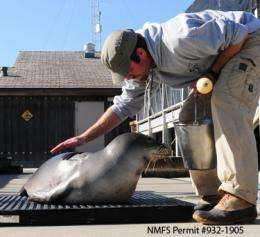 Rare Hawaiian monk seal brought to Long Marine Lab for study and treatment