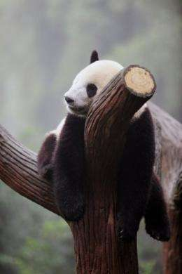 Six winners of a global contest will be given a chance to study panda behaviour in China