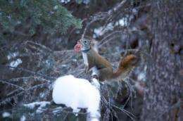 Squirrels show softer side by adopting orphans, study finds