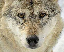 Sweden re-introduced the wolf hunt in 2010 after a 46-year hiatus