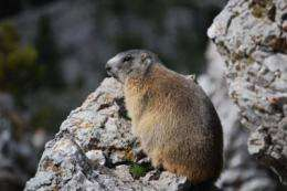 The alpine marmot spreads into the Catalan Pyrenees