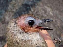 "The ""bald"" Bulbul bird discovered in Laos' Savannakhet province"