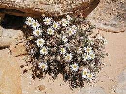 The Maguire daisy