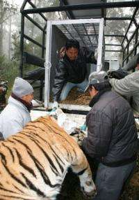 The tiger, an adult male, was captured after it wandered into the resort on the outskirts of the Chitwan national park