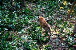 The tiger, named Namobuddha by park authorities, has been fitted with a special collar carrying a GPS tracking system