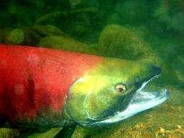 This photo illustration obtained Thursday shows a Fraser River sockeye salmon