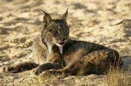 Toxoplasma gondii spreads in the habitat of the Iberian lynx