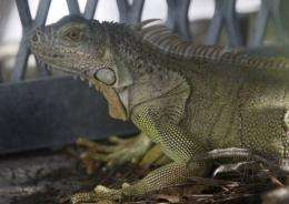 When temperatures drop below about 60 F (15 C), iguanas become less able to move around