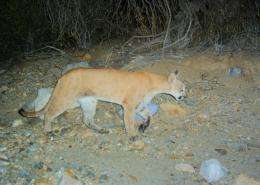 Wild cats roam the Tucson Mountains