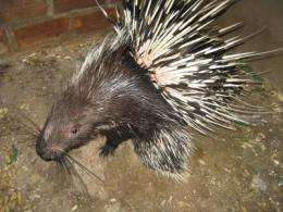 Wild porcupines under threat due to illegal hunting
