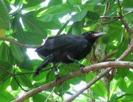 Without intervention, Mariana crow to become extinct in 75 years