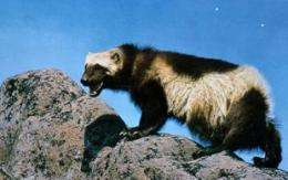 Wolverines threatened by climate change, earlier springs