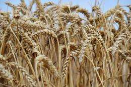 A consortium of scientists on Friday published the first genome for wheat