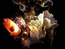 A sea squid (L) and  white coral (R) are seen in the Mediterranean Sea