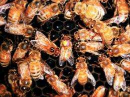 Biologist discovers 'stop' signal in honey bee communication