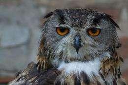 Eurasian Eagle Owl 2