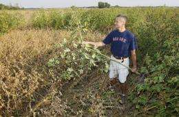 Dicamba-glyphosate combo works well in resistant soybeans