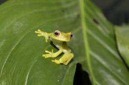 National Zoo and partners first to breed critically endangered tree frog