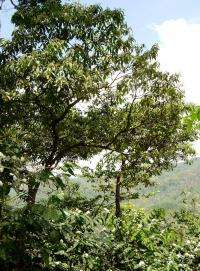 Shade-coffee farms support native bees that help maintain genetic diversity in remnant tropical forests