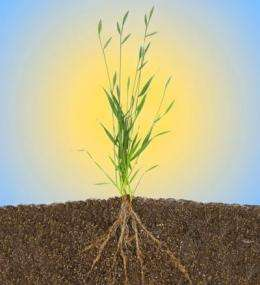 Scientists sequence genome of grass that can be a biofuel model crop