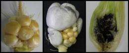Evolutionary arms race between smut fungi and maize plants