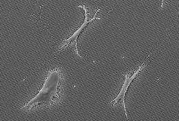 New insights into how stem cells determine what tissue to become