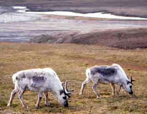 Reindeer: have sweet tooth, easy to handle, will travel