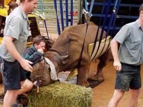 First step to test tube rhinos