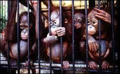 A group of orphaned Orangutans sit in a cage at the Wanariset Orangutan Rehabilitation Centre