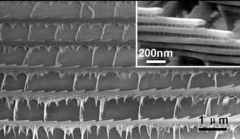 Butterfly Wings Are Templates for Photonic Structures
