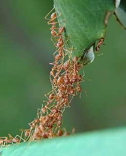 Swarm behavior: Ants collaborate to form a living bridge