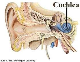 The cochlea. Credit: Alec N. Salt, Washington University.
