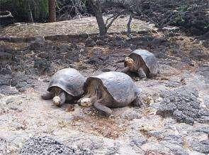 Giant tortoises at the Darwin Station on Isla Santa Cruz in the Galápagos Islands