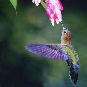 Researchers discover hummingbird secret