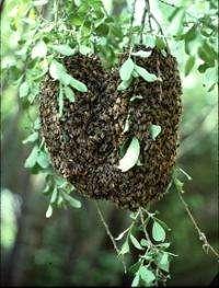 Study details honeybee coalition building