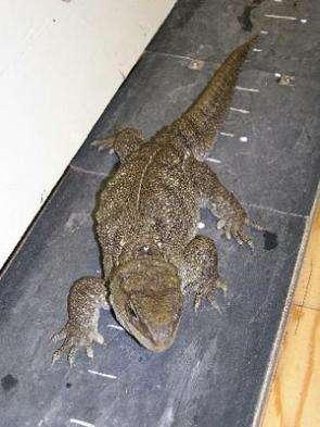 Salamanders and tuataras are studied