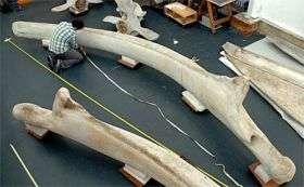 Fin whales' big gulp