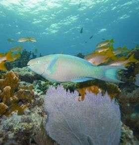 Adult Male Parrotfish