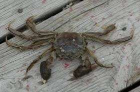 Furry-clawed Asian crabs found in Delaware and Chesapeake Bays