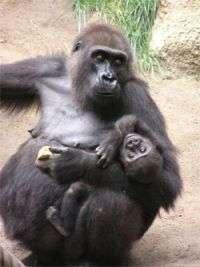 Gorillas classified as critically endangered